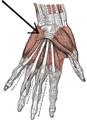 Musculuspalmarisbrevis.png