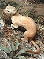 Mustela frenata - Pacific Grove Museum of Natural History - DSC06658.JPG