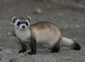 Black-footed ferret - Image: Mustela nigripes 2