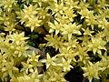 Muurpeper bloemen.jpg