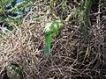 Myiopsitta monachus -Santiago, Chile -nest-8 (3).jpg