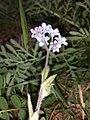Myosotis stenophylla sl5.jpg