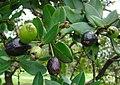 Myrcianthes rhopaloides, fruit (14746204252).jpg