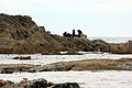 NZ Fur Seal - 1231 2013 007 (14164892216).jpg
