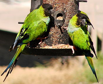 Nanday Parakeets (also known as the Black-hood...