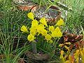 Narcissus bulbocodium var - Flickr - peganum (1).jpg