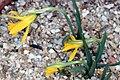 Narcissus muñozii-garmendiae RJB.jpg