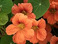 Nasturtium from Lalbagh flower show Aug 2013 7991.JPG