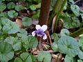 Native violet (3124207159).jpg
