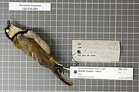 Naturalis Biodiversity Center - RMNH.AVES.92617 1 - Neolestes torquatus Cabanis, 1875 - Pycnonotidae - bird skin specimen.jpeg