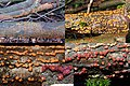 Nectria cinnabarina (GB= Coral Spot, D= Zinnoberroter Pustelpilz, Rotpustelpilz, NL= Gewoon meniezwammetje), with some roestbruine kogelzwwammetjes. They are only few millimeters in diameter. Look at the scale below - panoramio.jpg