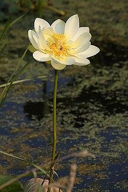 Amerikansk lotus wikipedia amerikansk lotus mightylinksfo