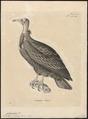 Neophron pileatus - 1700-1880 - Print - Iconographia Zoologica - Special Collections University of Amsterdam - UBA01 IZ18100149.tif
