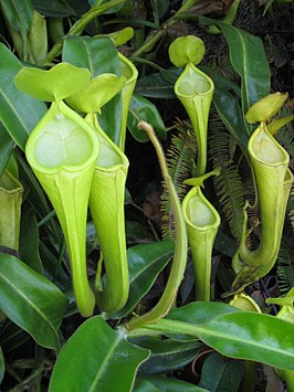 Bovenbekers Nepenthes chaniana