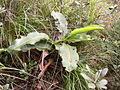 Nepenthes rajahe.jpg