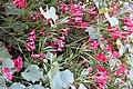 Nerium oleander 9 2017-07-20.jpg
