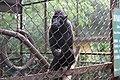 New Monkey Species from Sumatra.jpg