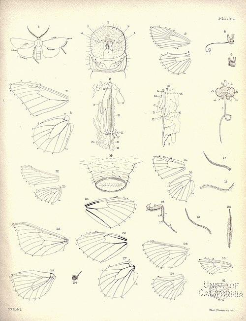 New Zealand Moths and Butterflies (1898) 01.jpg