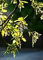 New oak leaves with male flowers 2.jpg
