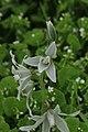 Nickender Milchstern Ornithogalum nutans 8764.jpg