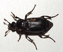 Käfer Wikipedia
