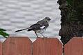 Northern Mockingbird, Santa Barbara.jpg