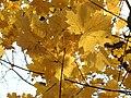 Norway Maple (31028983341).jpg