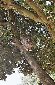 Norwegische Waldkatze beim Baumabstieg