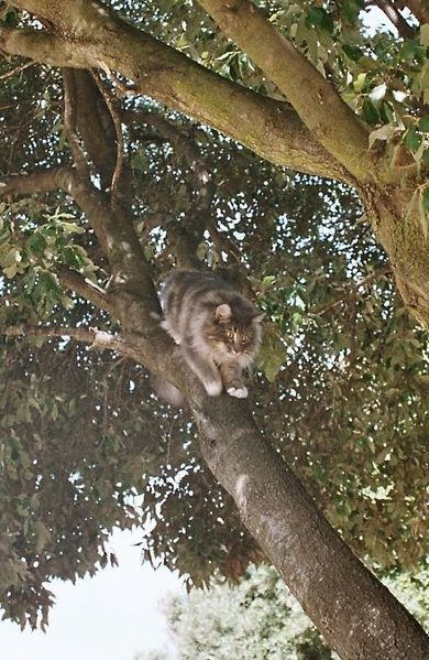 File:Norwegian Forest Cat climbing down tree.jpg