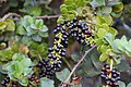 Nothantera heterophylla (Loranthaceae) (44260055562).jpg