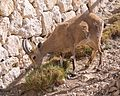 Nubian ibex eating in Mitzpe Ramon (40391).jpg