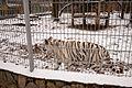 Nyíregyháza Zoo - White tiger-5.jpg