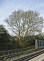 Oak tree, Oakwood Station, London N14 - geograph.org.uk - 1245506.jpg