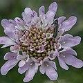 Oedemera nobilis-Scabiosa atropurpurea-20160423-2.jpg