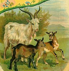 Old Goat and Kids Image