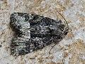Oligia latruncula - Tawny marbled minor - Злаковая совка шашечная (28120230527).jpg