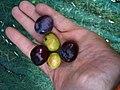Olive Nostrale di Rigali 2.jpg