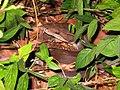 Olive Python (Liasis olivaceus) (8239193051).jpg