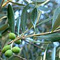 Olives Darb1.jpg