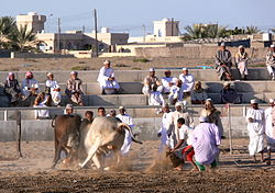 Oman bullfighting (4).jpg