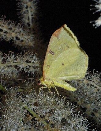 Brimstone moth - Image: Opisthograptis luteolata