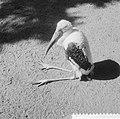 Opname in Artis, vogel, naam Nimmerzat, Bestanddeelnr 934-6286.jpg