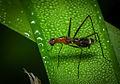 Orange Stilt-legged Fly.jpg