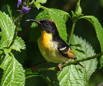 Lakeba - Sulphur-breasted myzomela (Myzomela jugularis)