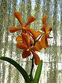 Orchidées-Jardin botanique de Peradeniya-Sri Lanka (18).jpg