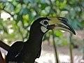 Oriental Pied Hornbill (Anthracoceros albirostris) female (8068229463).jpg