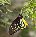 Ornithoptera euphorion melb.jpg