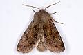 Orthosia incerta02, Lodz(Poland)(js).jpg