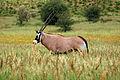 Oryx gazella in the Kgalagadi Transfrontier Park 006.jpg