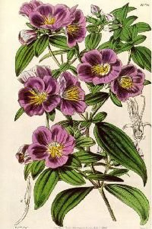 Pehr Osbeck - Osbeckia chinensis, drawn by Osbeck
